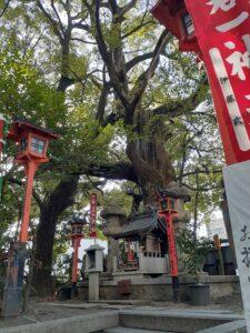 京都 若一神社 楠