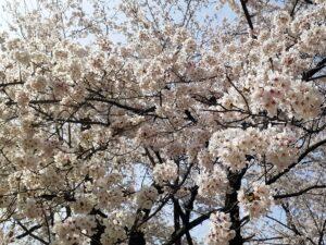 京都 平野神社 桜